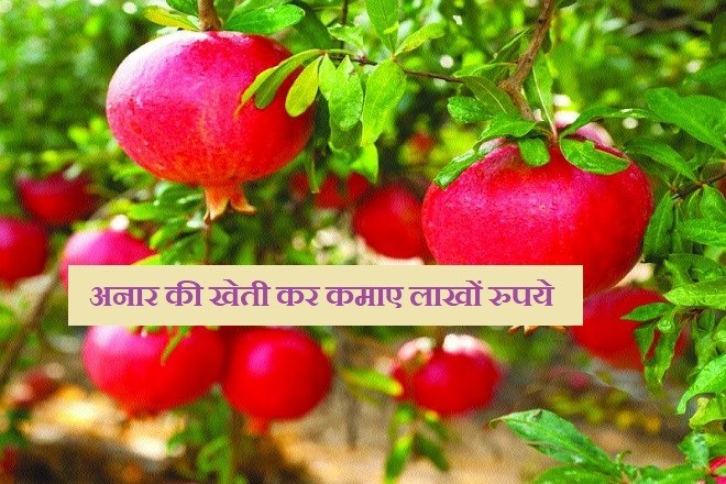Farmer is earning millions of rupees annually by cultivating pomegranate