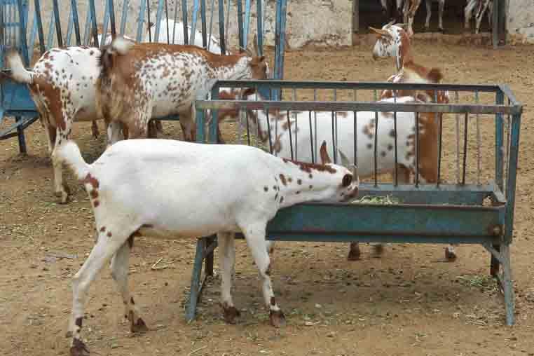 Goat farming business plan & Project report