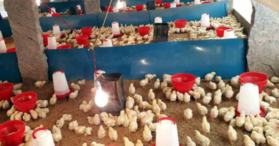 How to Start Broiler Poultry Farming in India