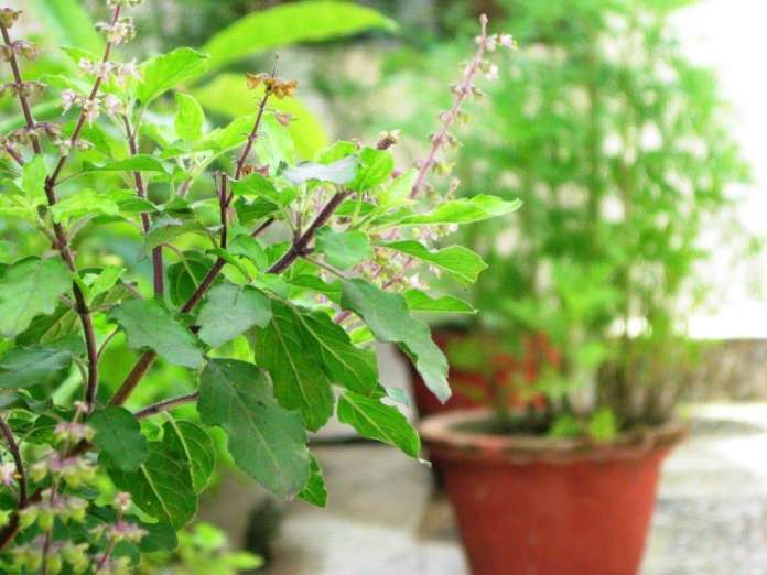 Basil Benefits in HIndi Health: A plant of Tulsi is better than giving thousands to doctors