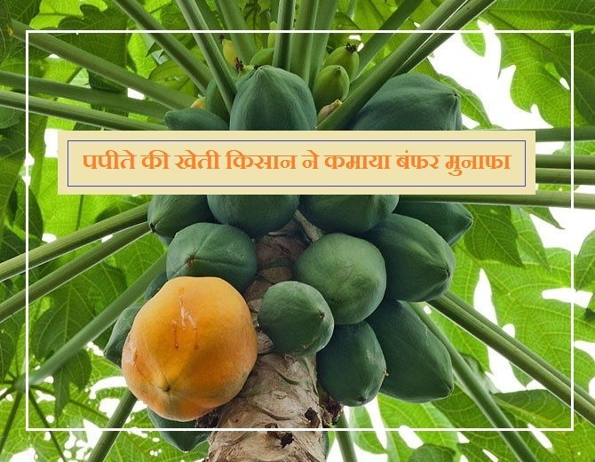 Agriculture success story: Papaya cultivation farmer earns buffer profits