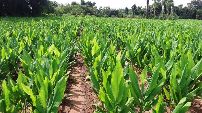 Farmers can earn millions of rupees by cultivating turmeric