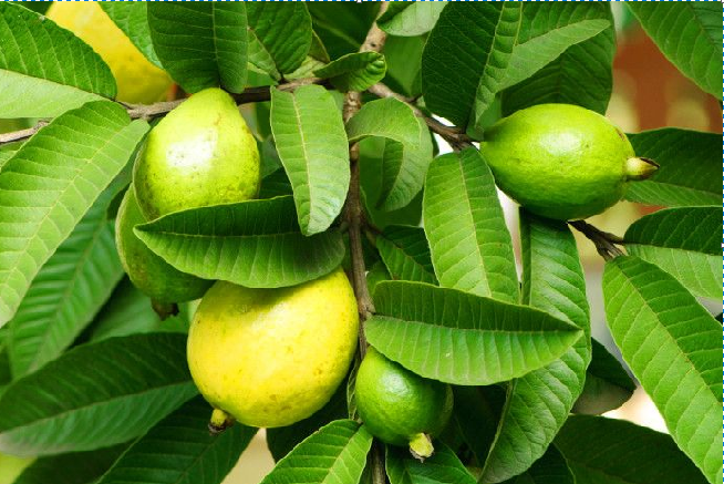Guava Leaves: These benefits of eating guava leaves will surprise you