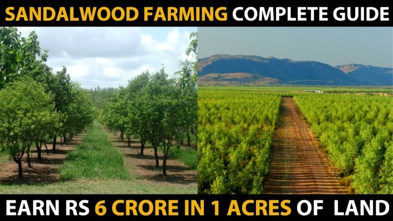 Know The Benefits & Varieties of Sandalwood Farming