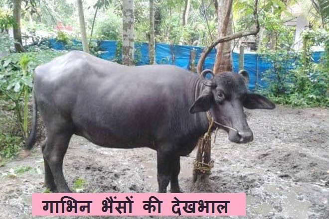 Care of buffalo buffalo