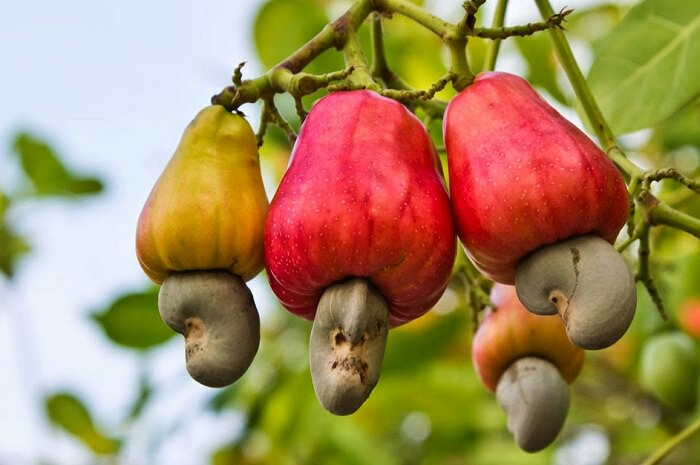 Farmers of Madhya Pradesh can earn lakhs of rupees annually by cultivating cashew