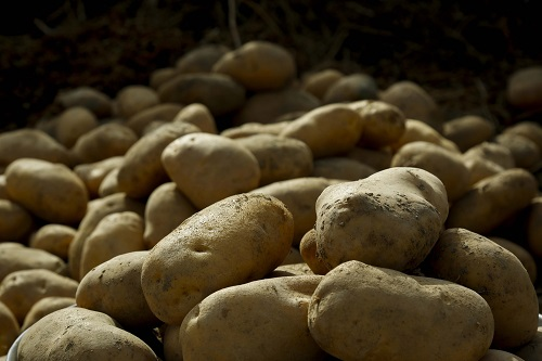 Potato acreage will increase, farmers get excited after getting good price
