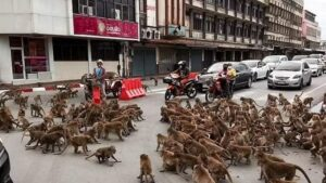 Video: Gang War of Wild Monkeys!  Monkeys clash with each other on the streets of Thailand, people 'lurking' inside cars
