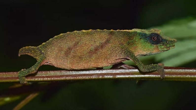 Scientists were overjoyed as soon as they found the world's rarest 'dwarf' chameleon, long thought to be extinct, it was found in Africa