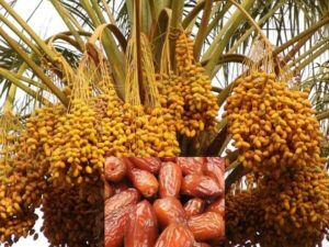 How to Start date Palm Tree Farming Business